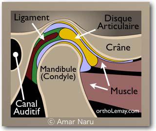 Anatomie de articulation temporo-mandibulaire