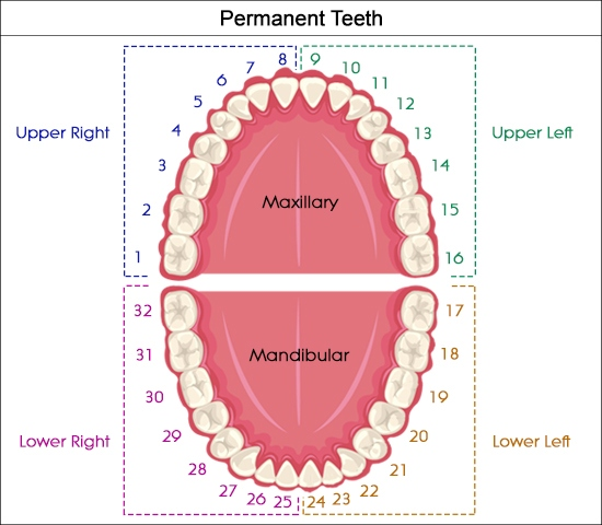 Anatomy of a tooth and function of teeth