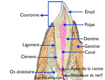 Diagramme de l'anatomie d'une dent