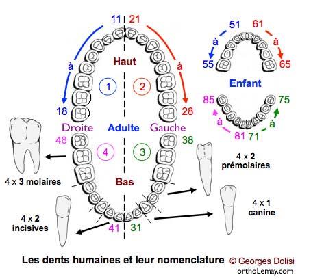 Nomenclature dentaire FDI numérotation dentaire, dentition Dolisi