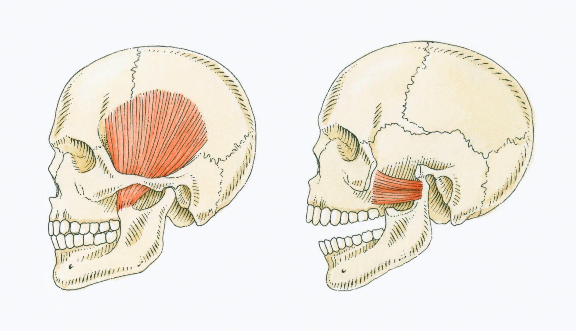 Schéma articulation temporo-mandibulaire